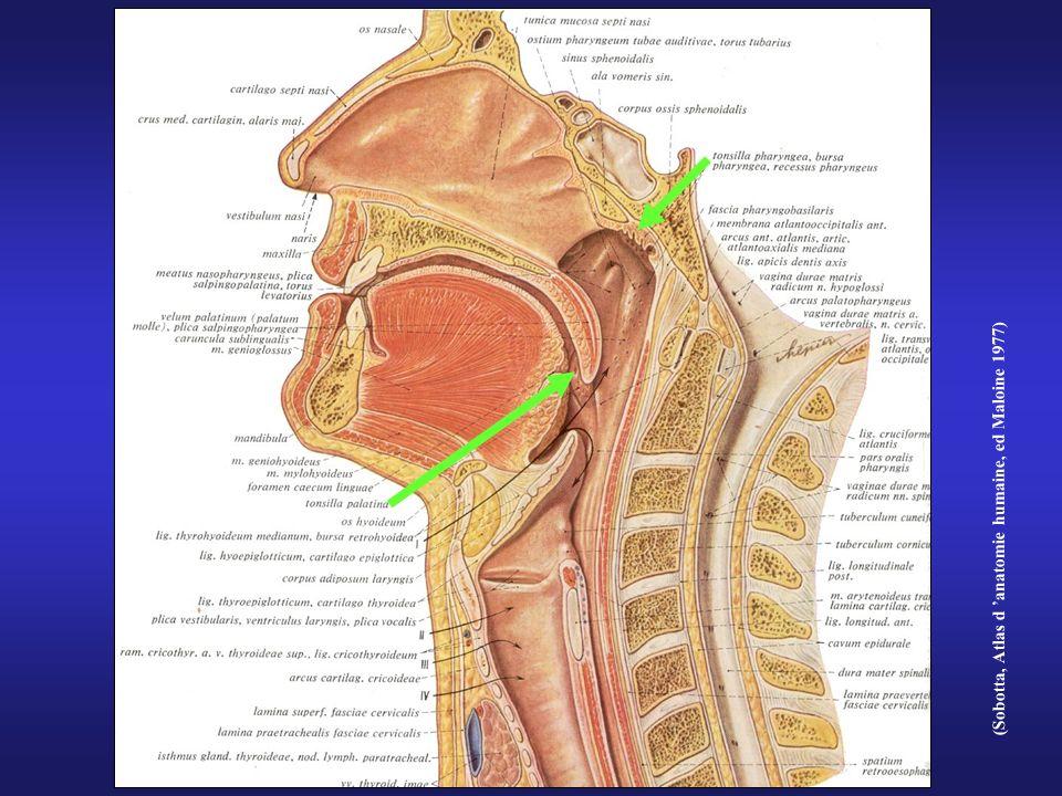 (Sobotta, Atlas d anatomie humaine, ed Maloine 1977)