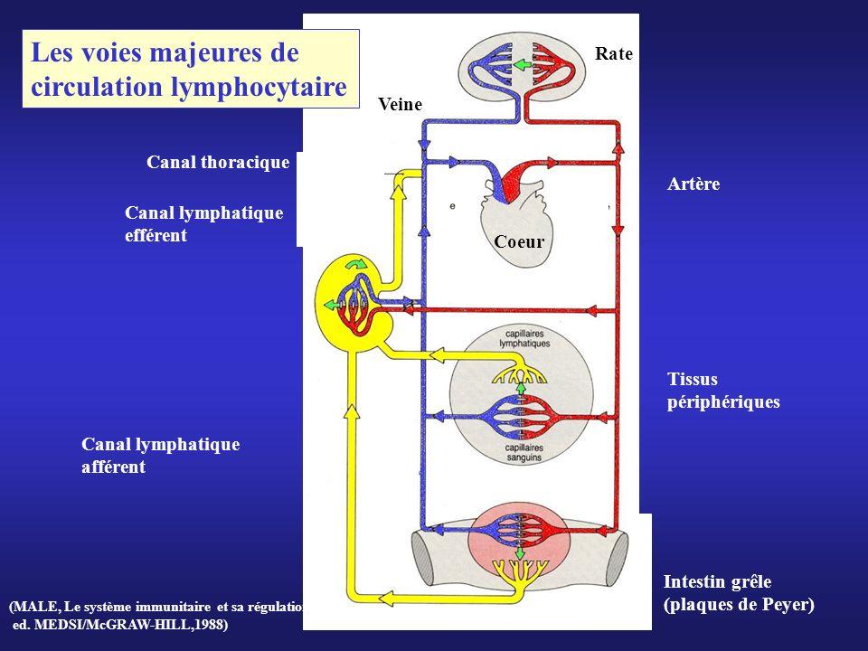 Coeur Rate Tissus périphériques Canal lymphatique afférent Artère Veine Canal thoracique Intestin grêle (plaques de Peyer) Canal lymphatique efférent