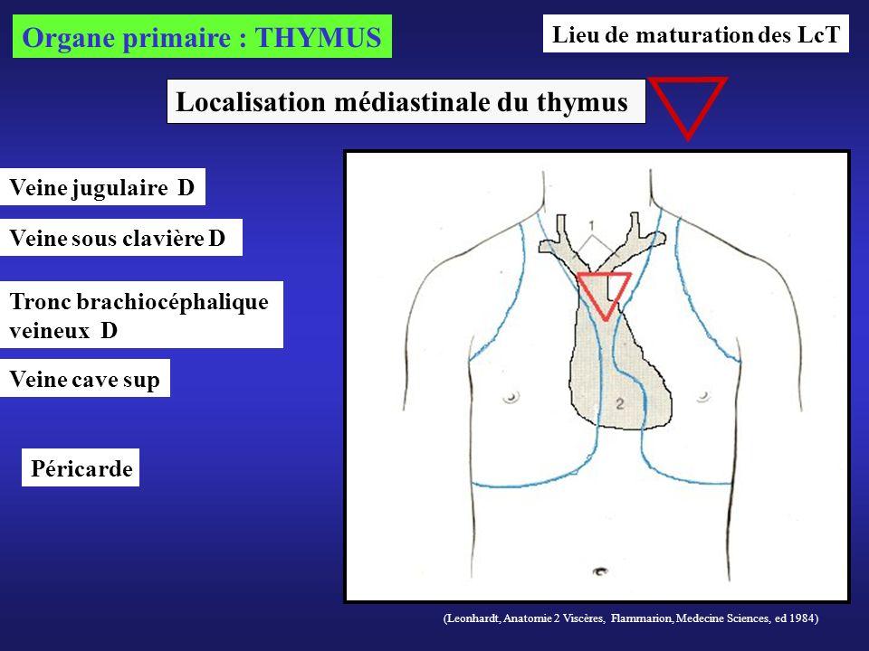 (Leonhardt, Anatomie 2 Viscères, Flammarion, Medecine Sciences, ed 1984) Localisation médiastinale du thymus Organe primaire : THYMUS Veine cave sup T