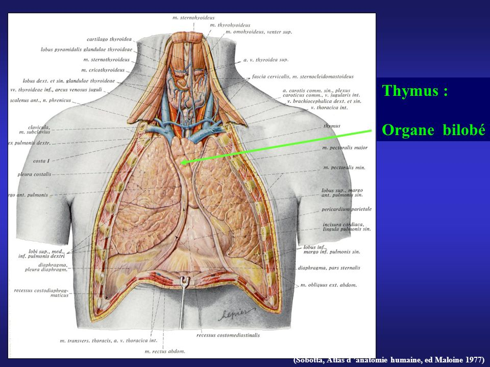 (Sobotta, Atlas d anatomie humaine, ed Maloine 1977) Thymus : Organe bilobé