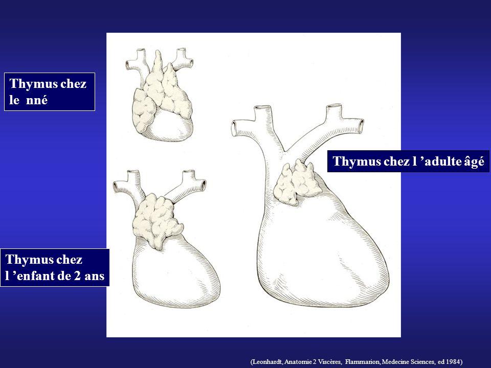 (Leonhardt, Anatomie 2 Viscères, Flammarion, Medecine Sciences, ed 1984) Thymus chez le nné Thymus chez l enfant de 2 ans Thymus chez l adulte âgé