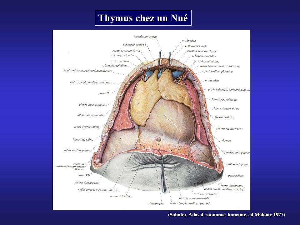 (Sobotta, Atlas d anatomie humaine, ed Maloine 1977) Thymus chez un Nné