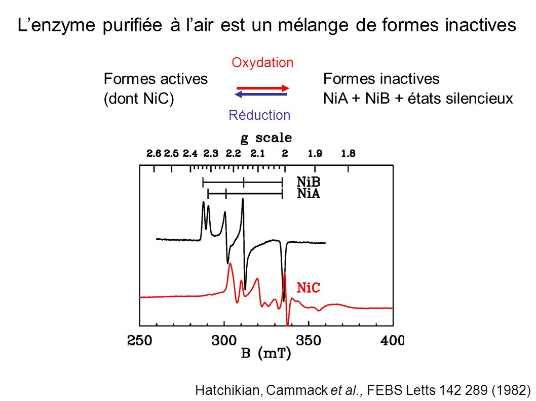 Cinétiques complexes dactivation / réactivation Structure des formes inactives encore incertaines NiB (inactif, « ready ») NiA (inactif, « unready ») Oxydation aérobie (par O 2 ) ou anaérobie (DCPIP*) Réduction rapide Réduction lente Hatchikian, Cammack et al., BBA 883 145 (1986) Volbeda et al., J.