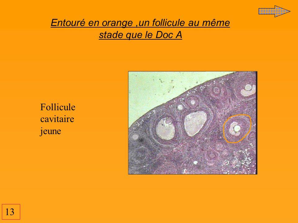 13 Entouré en orange,un follicule au même stade que le Doc A Follicule cavitaire jeune