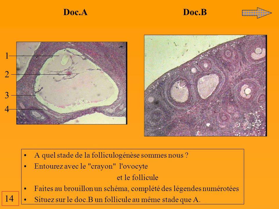 14 Doc.A Doc.B 1 2 3 4 A quel stade de la folliculogénèse sommes nous ? Entourez avec le