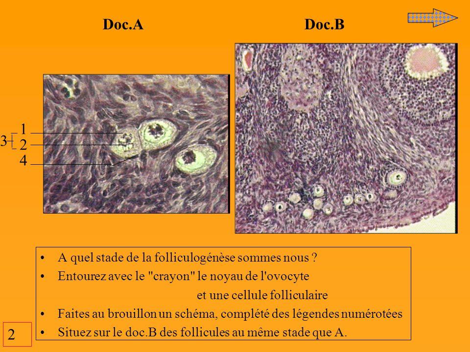 2 A quel stade de la folliculogénèse sommes nous ? Entourez avec le