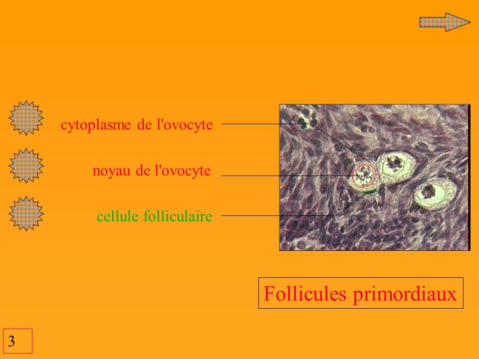 3 cytoplasme de l'ovocyte noyau de l'ovocyte cellule folliculaire Follicules primordiaux