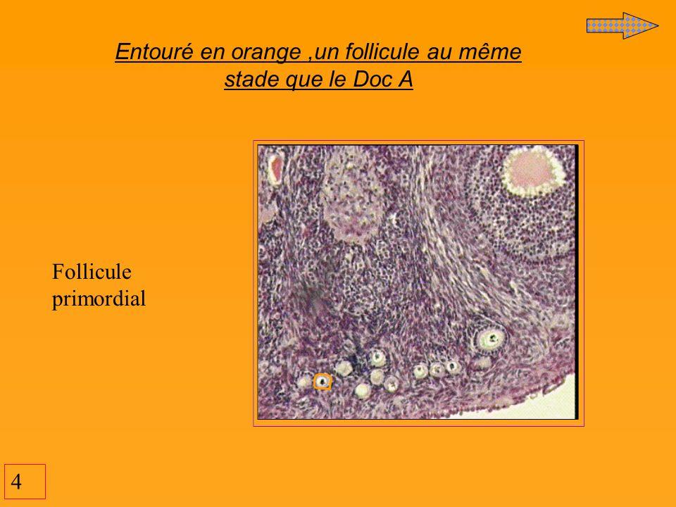 15 Cavité L ovocyte Thèque interne Thèque externe Follicule de De Graaf (=cavitaire mûr)