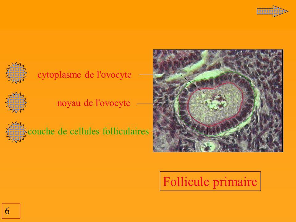 6 cytoplasme de l'ovocyte noyau de l'ovocyte couche de cellules folliculaires Follicule primaire