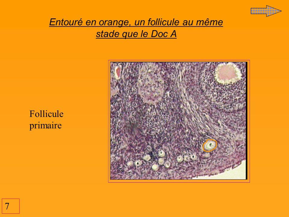 7 Entouré en orange, un follicule au même stade que le Doc A Follicule primaire
