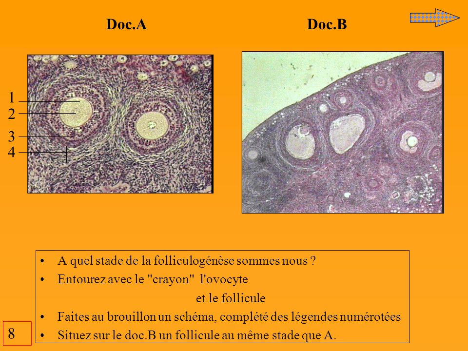 8 Doc.A Doc.B 1 2 3 4 A quel stade de la folliculogénèse sommes nous ? Entourez avec le
