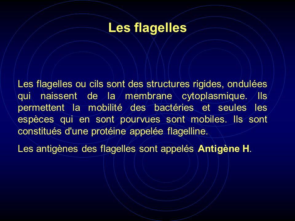 Les flagelles ou cils sont des structures rigides, ondulées qui naissent de la membrane cytoplasmique. Ils permettent la mobilité des bactéries et seu