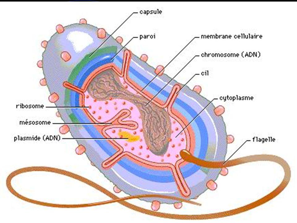 La paroi détermine la forme de la bactérie, elle la protège (une bactérie qui n a plus de paroi meurt), elle est un passage obligé pour les échanges avec le milieu extérieur, elle est antigénique (antigène O).