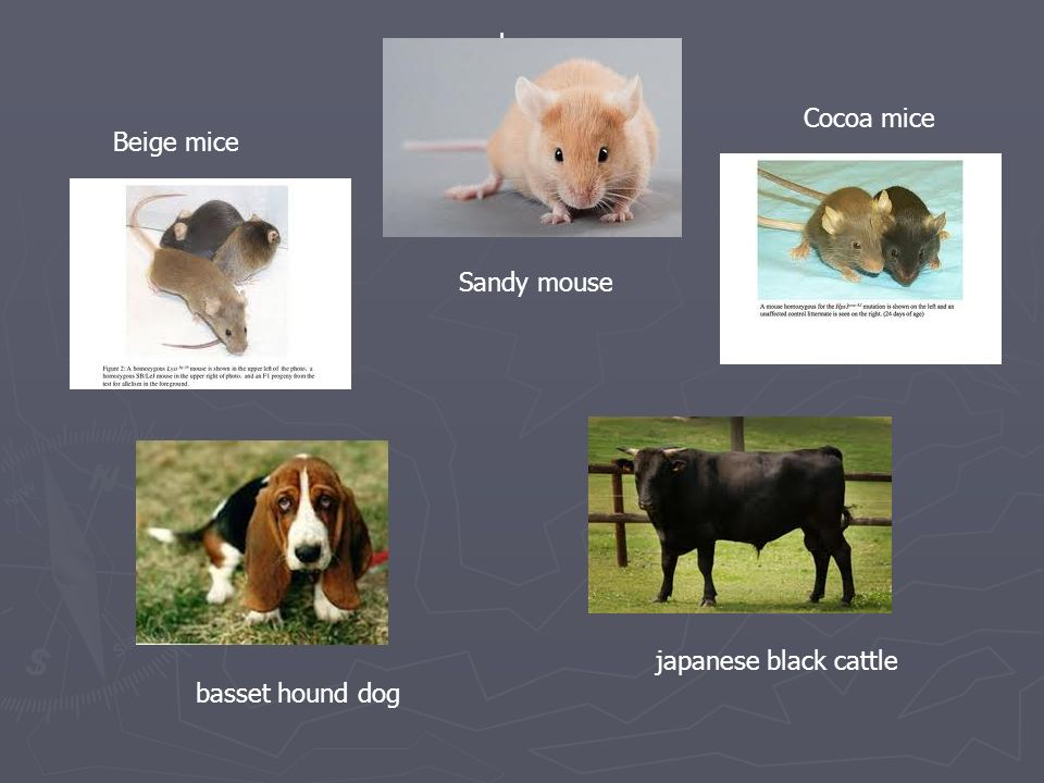basset hound dog Beige mice Cocoa mice sandy mouse Sandy mouse japanese black cattle