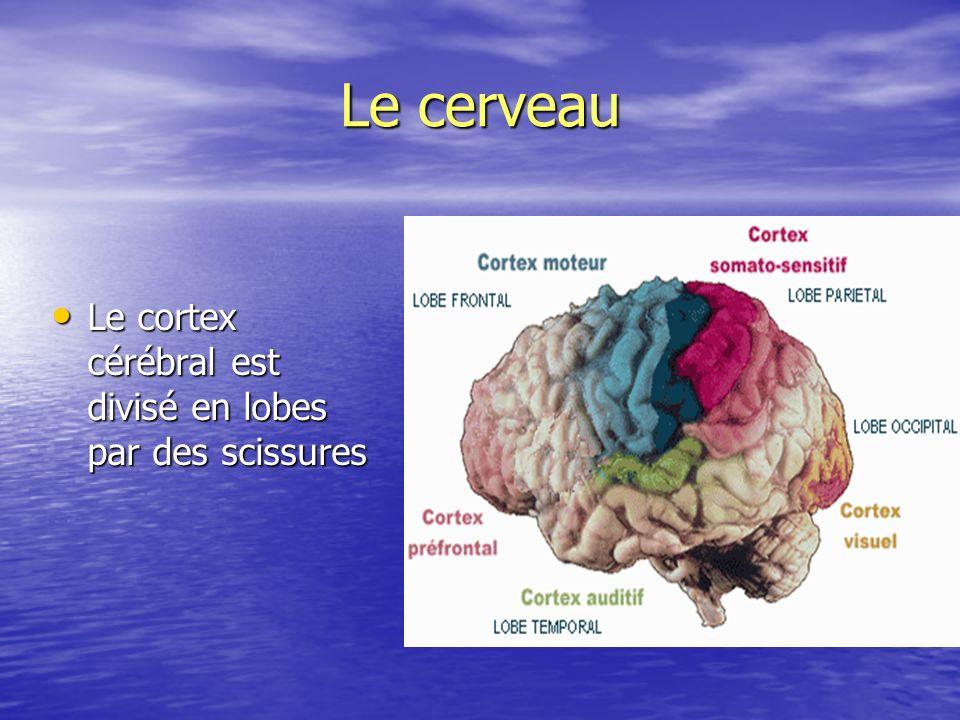 Le cerveau Le cortex cérébral est divisé en lobes par des scissures Le cortex cérébral est divisé en lobes par des scissures