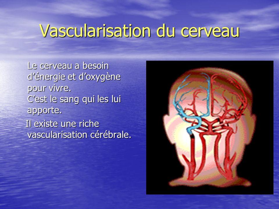 Vascularisation du cerveau Le cerveau a besoin dénergie et doxygène pour vivre. Cest le sang qui les lui apporte. Il existe une riche vascularisation