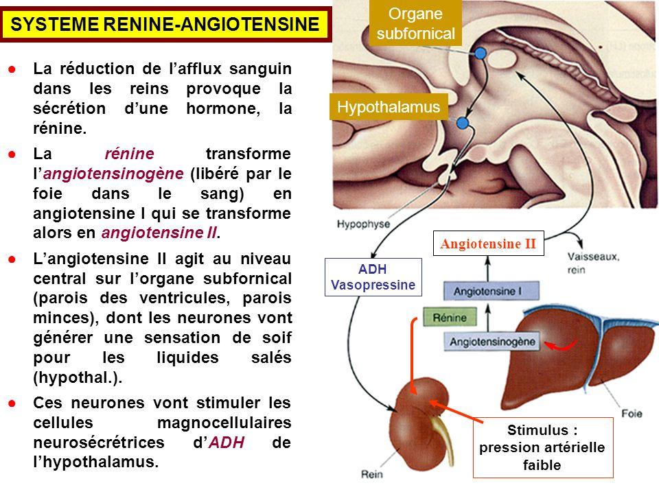 La réduction de lafflux sanguin dans les reins provoque la sécrétion dune hormone, la rénine. La rénine transforme langiotensinogène (libéré par le fo