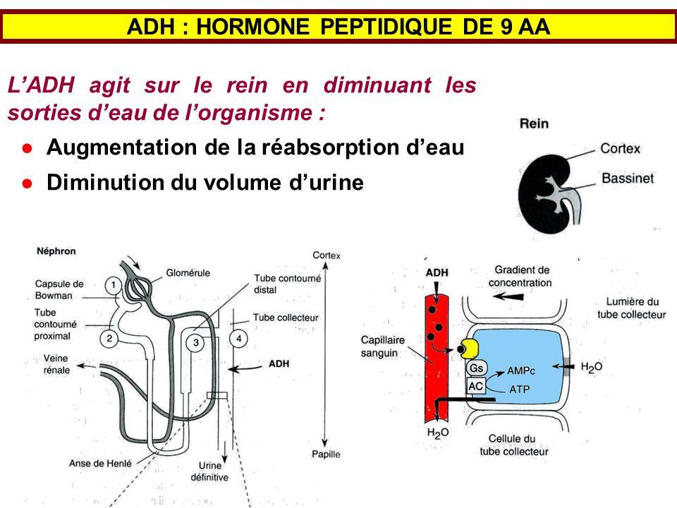 LADH agit sur le rein en diminuant les sorties deau de lorganisme : Augmentation de la réabsorption deau Diminution du volume durine ADH : HORMONE PEP
