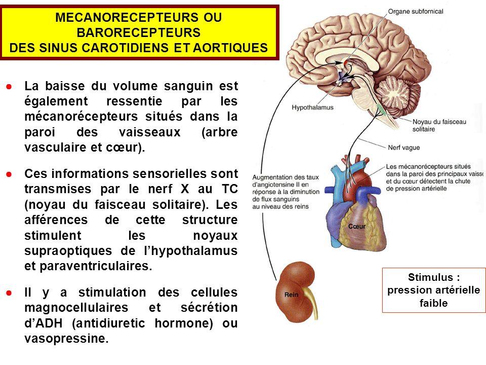 La baisse du volume sanguin est également ressentie par les mécanorécepteurs situés dans la paroi des vaisseaux (arbre vasculaire et cœur). Ces inform