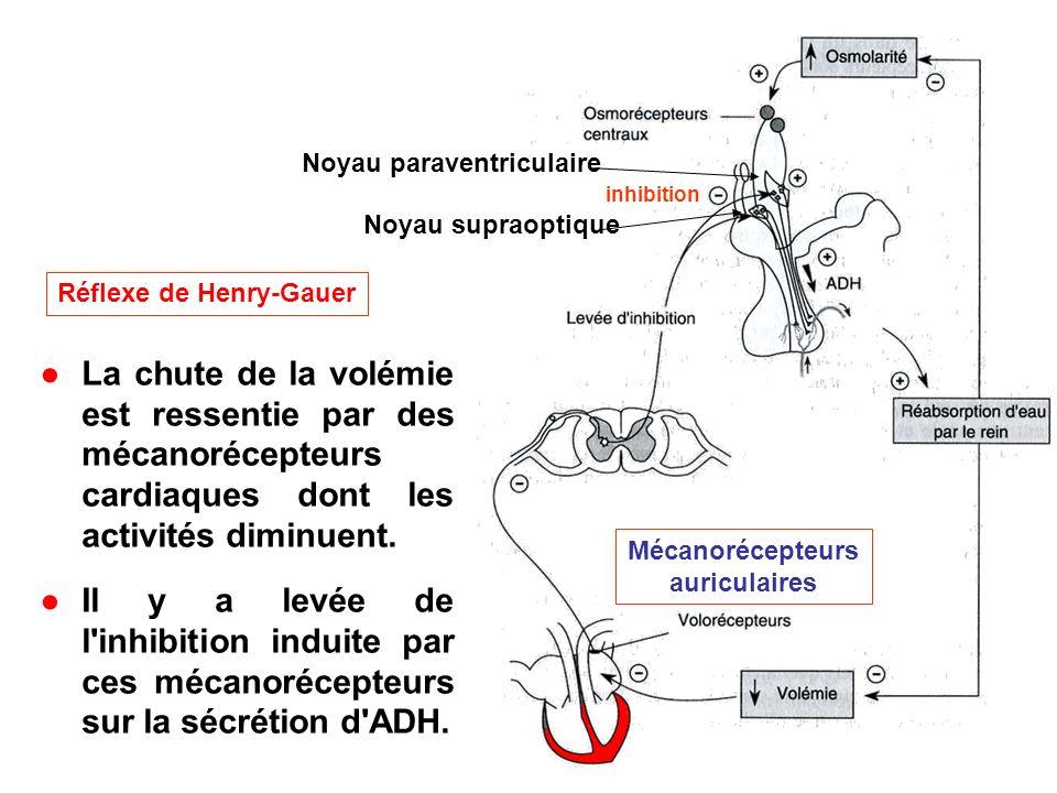 Réflexe de Henry-Gauer Noyau paraventriculaire Noyau supraoptique inhibition Mécanorécepteurs auriculaires La chute de la volémie est ressentie par de