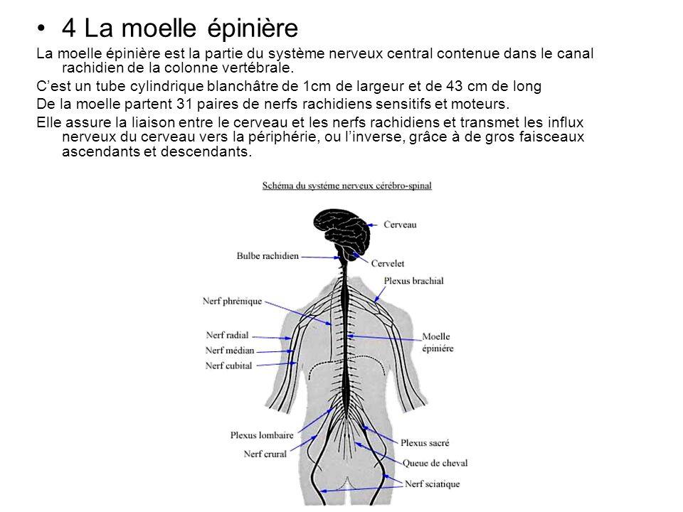 4 La moelle épinière La moelle épinière est la partie du système nerveux central contenue dans le canal rachidien de la colonne vertébrale. Cest un tu