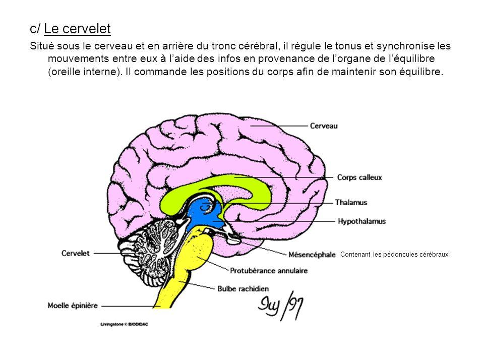 c/ Le cervelet Situé sous le cerveau et en arrière du tronc cérébral, il régule le tonus et synchronise les mouvements entre eux à laide des infos en