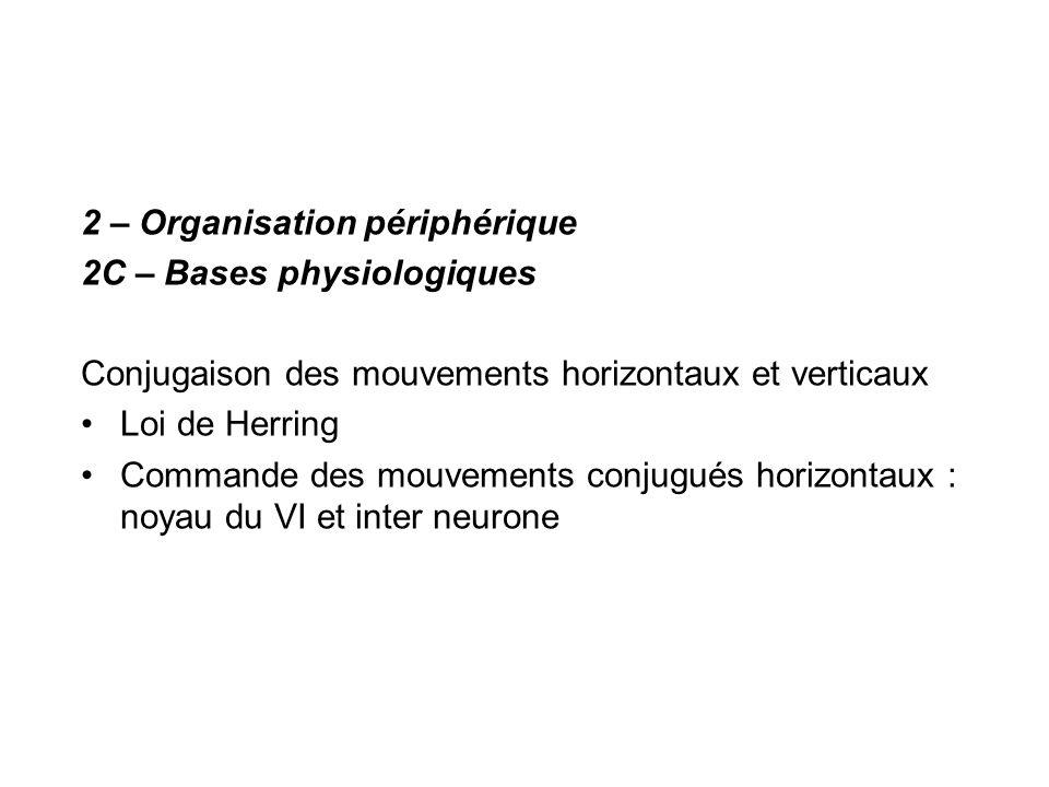2 – Organisation périphérique 2C – Bases physiologiques Conjugaison des mouvements horizontaux et verticaux Loi de Herring Commande des mouvements con