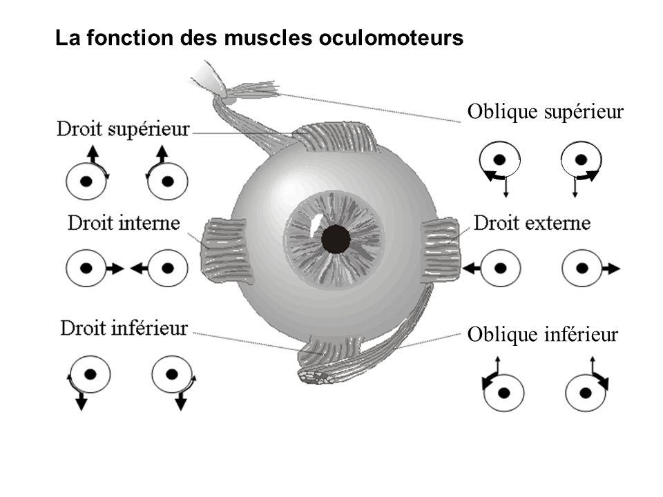 La fonction des muscles oculomoteurs Oblique supérieur Oblique inférieur