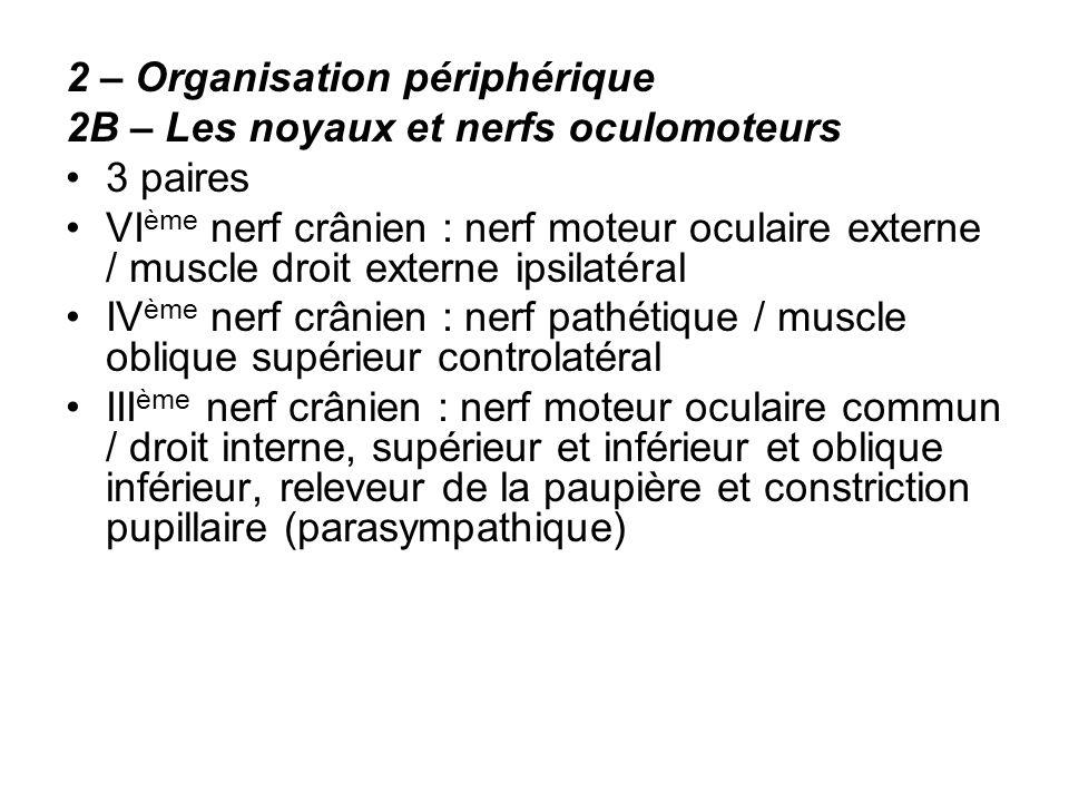2 – Organisation périphérique 2B – Les noyaux et nerfs oculomoteurs 3 paires VI ème nerf crânien : nerf moteur oculaire externe / muscle droit externe