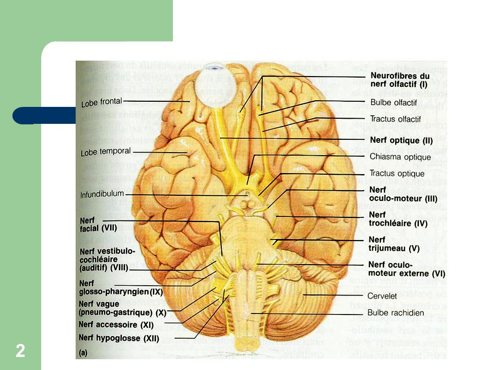 3 Etiologies Traumatique Tumorale Otitique Virale Causes plus rares (Guillain-Barré; sarcoïdose; maladie de Lyme; MNI) Idiopathique (inconnue) : PF a frigore