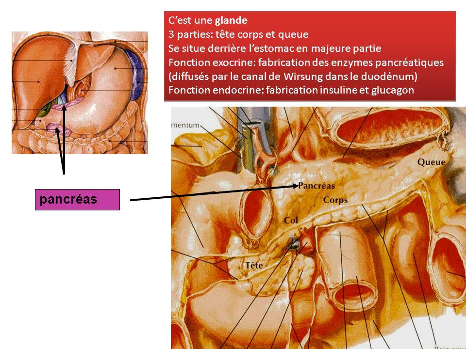 pancréas Cest une glande 3 parties: tête corps et queue Se situe derrière lestomac en majeure partie Fonction exocrine: fabrication des enzymes pancré