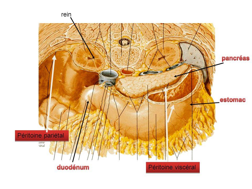 Jonction entre œsophage et estomac = cardia Œsophage traverse tout le thorax Estomac, pratiquement camouflé par le foie.