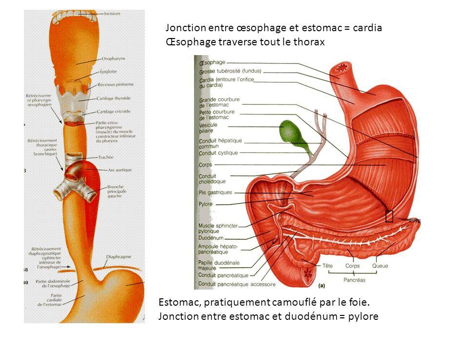 Jonction entre œsophage et estomac = cardia Œsophage traverse tout le thorax Estomac, pratiquement camouflé par le foie. Jonction entre estomac et duo