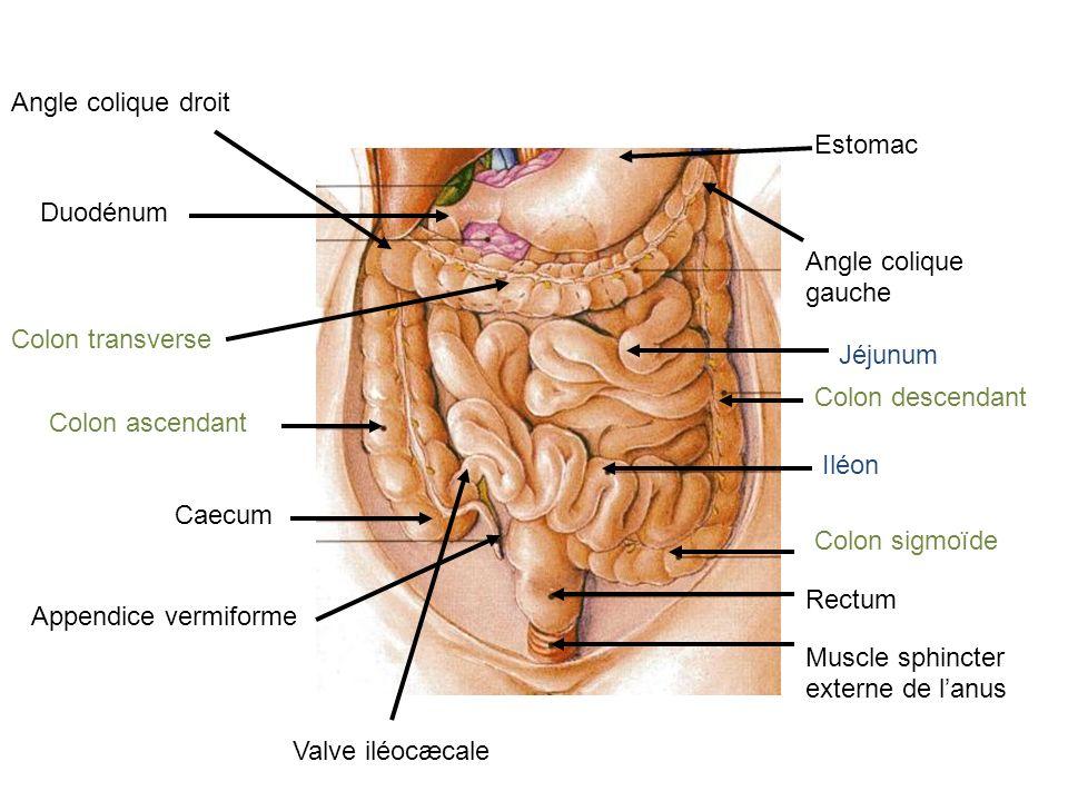 Lobe droit Lobe gauche Vésicule biliaire Se trouve sous le diaphragme En rapport avec lui : vésicule biliaire se trouve à la face inférieure du lobe droit du foie.