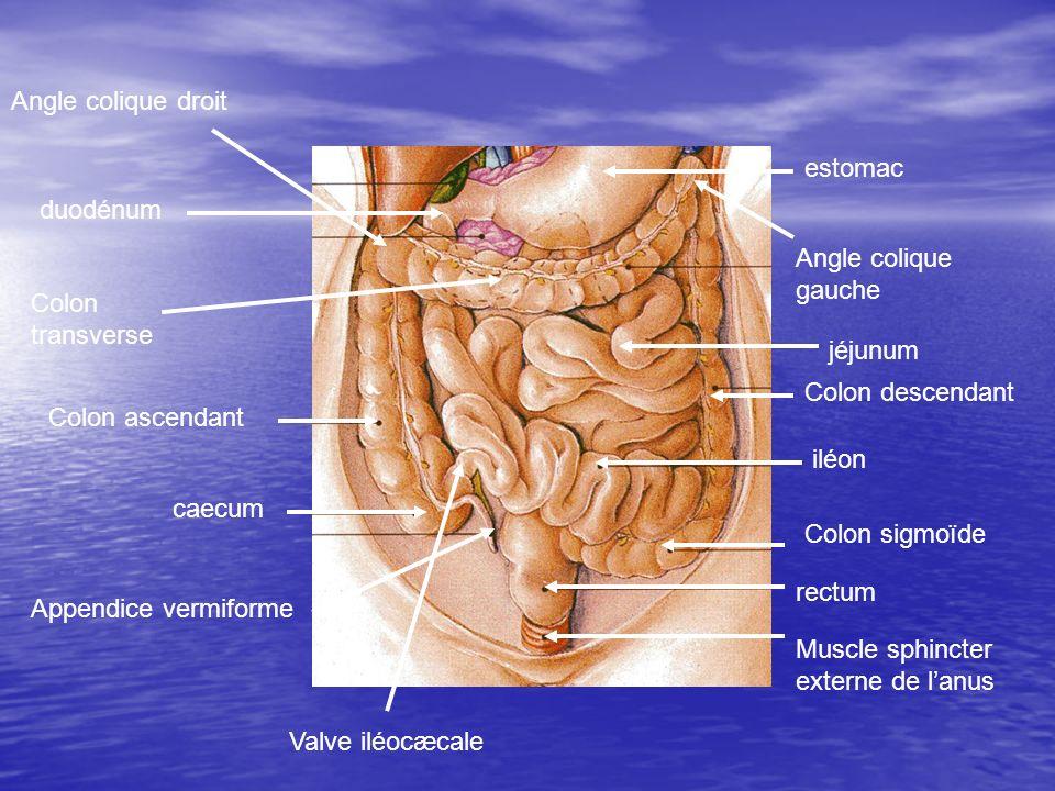 jéjunum iléon Colon sigmoïde rectum Colon ascendant caecum Appendice vermiforme Colon transverse Colon descendant duodénum estomac Muscle sphincter ex