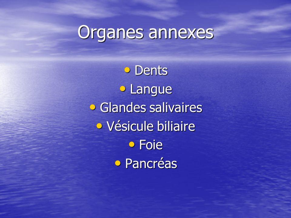 Organes annexes Dents Dents Langue Langue Glandes salivaires Glandes salivaires Vésicule biliaire Vésicule biliaire Foie Foie Pancréas Pancréas
