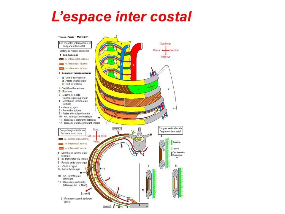 Lespace inter costal