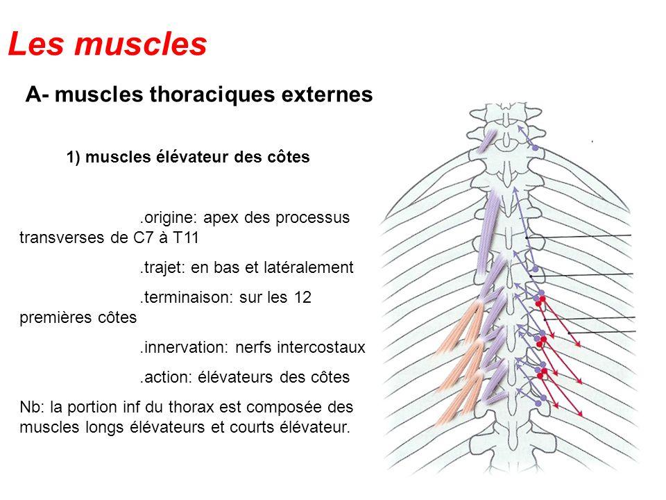 A- muscles thoraciques externes 1) muscles élévateur des côtes.origine: apex des processus transverses de C7 à T11.trajet: en bas et latéralement.term