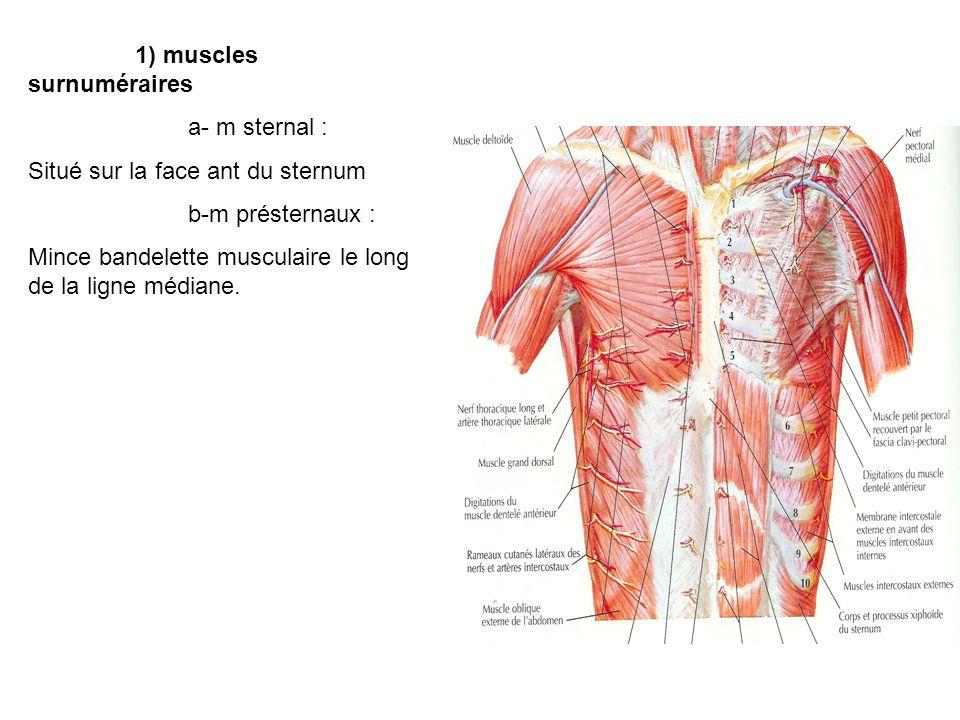 1) muscles surnuméraires a- m sternal : Situé sur la face ant du sternum b-m présternaux : Mince bandelette musculaire le long de la ligne médiane.