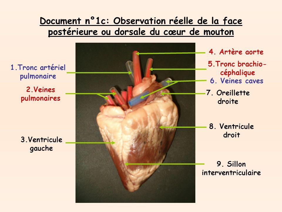 Document n°1c: Observation réelle de la face postérieure ou dorsale du cœur de mouton 1.Tronc artériel pulmonaire 2.Veines pulmonaires 3.Ventricule gauche 4.