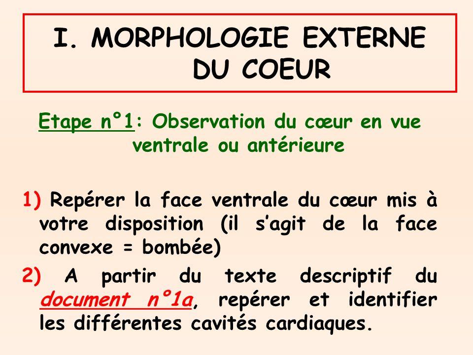 I. MORPHOLOGIE EXTERNE DU COEUR Etape n°1: Observation du cœur en vue ventrale ou antérieure 1) Repérer la face ventrale du cœur mis à votre dispositi