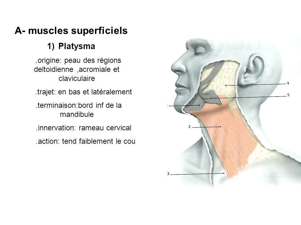 A- muscles superficiels 1)Platysma.origine: peau des régions deltoidienne,acromiale et claviculaire.trajet: en bas et latéralement.terminaison:bord inf de la mandibule.innervation: rameau cervical.action: tend faiblement le cou