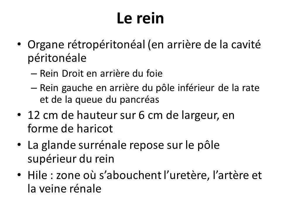 Organe rétropéritonéal (en arrière de la cavité péritonéale – Rein Droit en arrière du foie – Rein gauche en arrière du pôle inférieur de la rate et d
