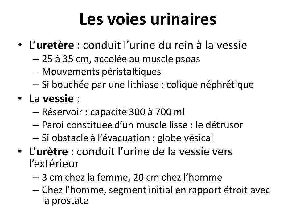 Les voies urinaires Luretère : conduit lurine du rein à la vessie – 25 à 35 cm, accolée au muscle psoas – Mouvements péristaltiques – Si bouchée par u