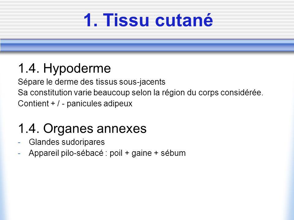 1. Tissu cutané 1.4. Hypoderme Sépare le derme des tissus sous-jacents Sa constitution varie beaucoup selon la région du corps considérée. Contient +