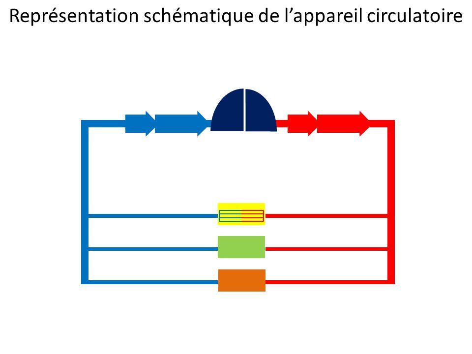 Représentation schématique de lappareil circulatoire