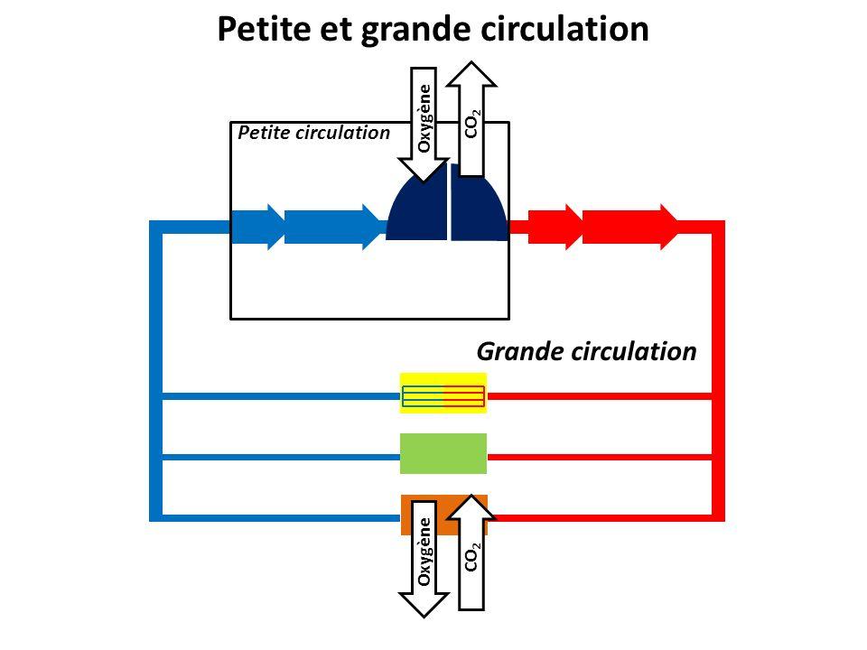 Petite et grande circulation Petite circulation Grande circulation Oxygène CO 2 Oxygène CO 2