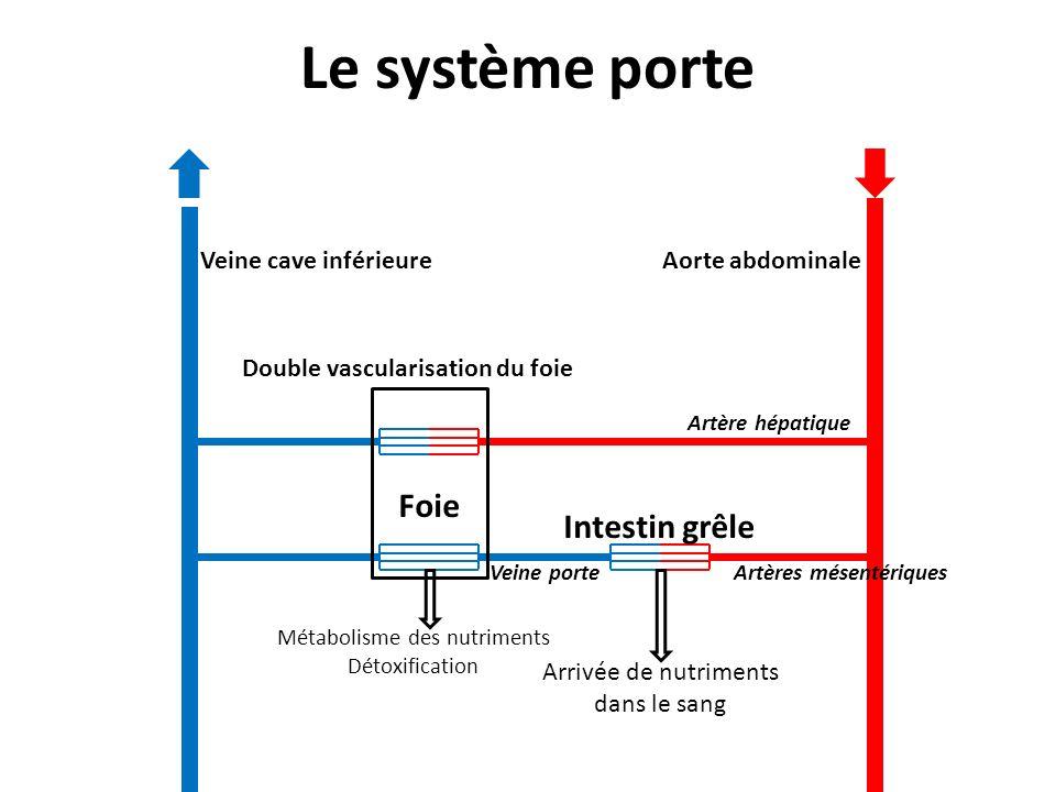 Le système porte Intestin grêle Foie Aorte abdominale Artère hépatique Artères mésentériques Veine cave inférieure Arrivée de nutriments dans le sang