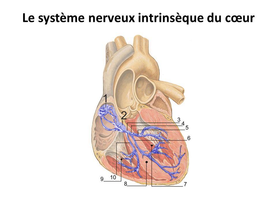 Le système nerveux intrinsèque du cœur