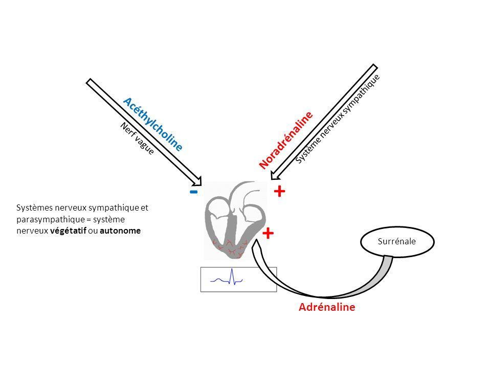 Surrénale Système nerveux sympathique Noradrénaline + Acéthylcholine Nerf vague - Adrénaline + Systèmes nerveux sympathique et parasympathique = systè